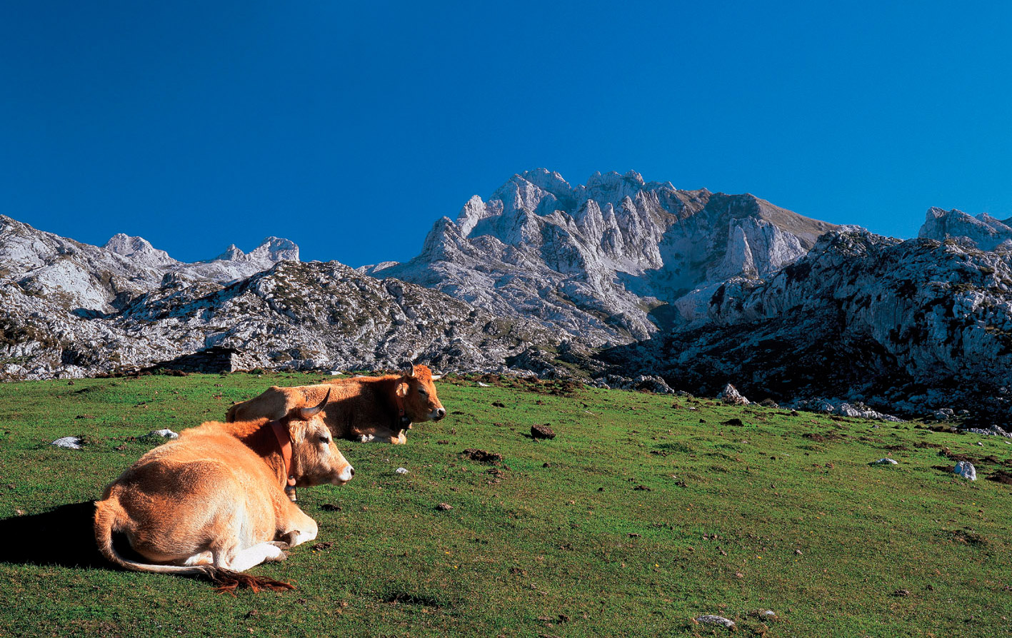 vacas, queso Cangas de Onís